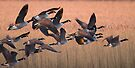 Canada Geese by Neil Bygrave (NATURELENS)