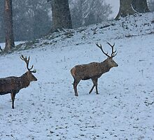 Two Stags in the snow by Jon Lees
