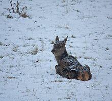 Doe in the snow by Jon Lees