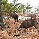 Mule Deer Herd by Nickolay Stanev