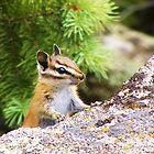 Rocky Mountain Chipper by Thomas Stevens
