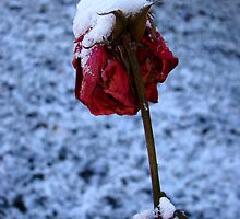 Rose in First Snow by Merja Waters