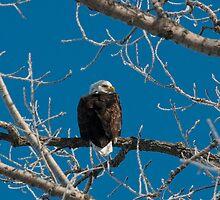 Bird Of Prey by Jarede Schmetterer