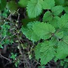 Lemon Balm by ktscarlett