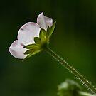 Blossom in the sun by Liza Yorkston
