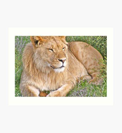 Content Lion  - Monarto Zoo  Art Print