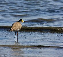 Wading Plover by reflector