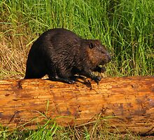 Beaver on a Bog Log by Lee-Anne Carver