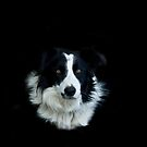 Sheep dog by laurav