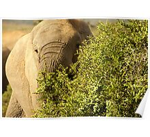 Addo Elephant South Africa Poster