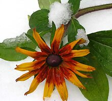 A frozen beauty from my garden by Maria1606