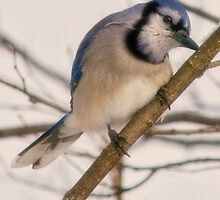bluejay by KathleenRinker