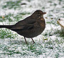 Ms Blackbird in our garden by Adri  Padmos