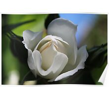 Pretty  half blooming summer white rose flower. Floral photography. Poster
