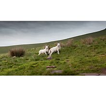 Welsh lambs in Brecon Photographic Print