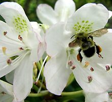 Pollen Packing Bumble Bee by Jean Gregory  Evans