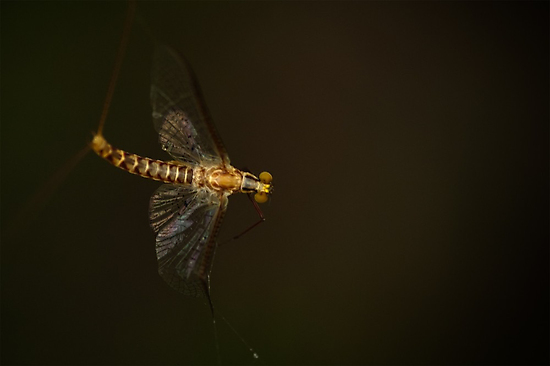 Mayfly by Annie Lemay  Photography