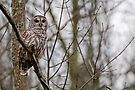 Barred Owl - Presqu'ile Provincial Park, Brighton, Ontario by Michael Cummings