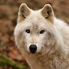 Winter Wolf by Sandy Keeton