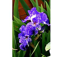 Multi-colored Iris Photographic Print