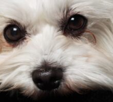 The Maltese Dog Sticker