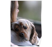 Cocker Spaniel at the horse show Poster
