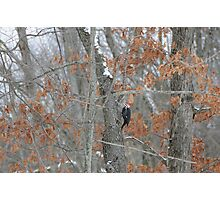 Pileated Eating Insects Photographic Print