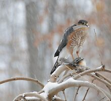 Sharp-shinned Hawk by amyklein196203