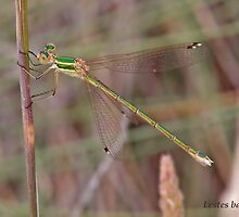 Southern Emerald Damselfly by Hugh J Griffiths