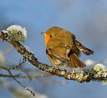 Robin portrait by wildlifephoto