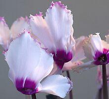 Delicate pink by Steve plowman