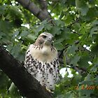 3 month old red-tailed hawk at RI Hospital 7/16/09 by deborahpuerini