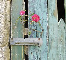 Cornish barn door with wild rose by sue mochrie