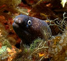 Mediterranean moray eel by spyderdesign