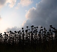 Sunflowers by Klaus Offermann
