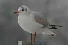 SeaGull by davesphotographics