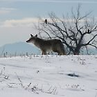 Coyote and Bald Eagles by janetmarston