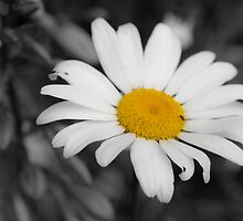 Lonely Daisy  by Matthew Hutzell