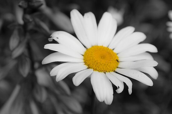 Lonely Daisy  by Matthew Hutzell