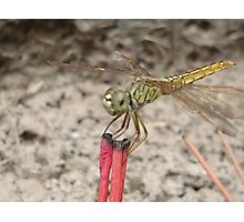 Incensed dragonfly Photographic Print