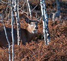 Deer Buck - Ottawa, Ontario - 4 by Michael Cummings