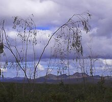 Weeping Gumtree, Fitzgerald Ranges by Melva Vivian