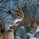 Red Squirrel in Spruce tree - Ottawa, Ontario - 2 by Michael Cummings