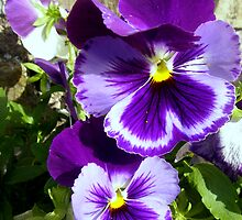 Glorious Purple Pansies by sstarlightss