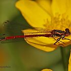 Large Red Damselfly by Hugh J Griffiths