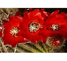 Prickly Pear Cactus Flower Photographic Print