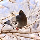 Pigeon on Snowy Branch by Sofia Solomennikova