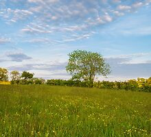 Buttercup Meadow by Stephen Lavery