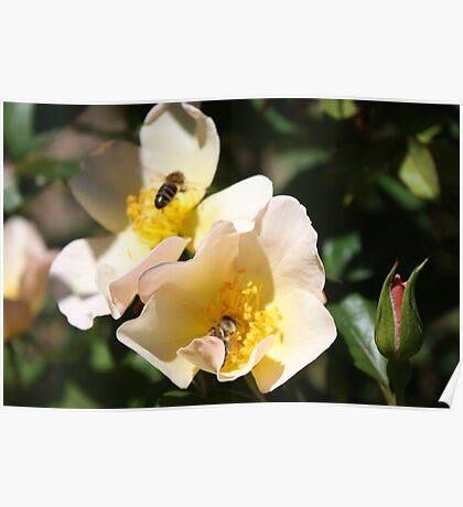 Sweet Roses n Bee n Flight Poster
