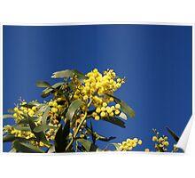 Australian Wattle Poster